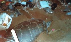 El-plastico-ahoga-a-las-tortugas-marinas_image640_