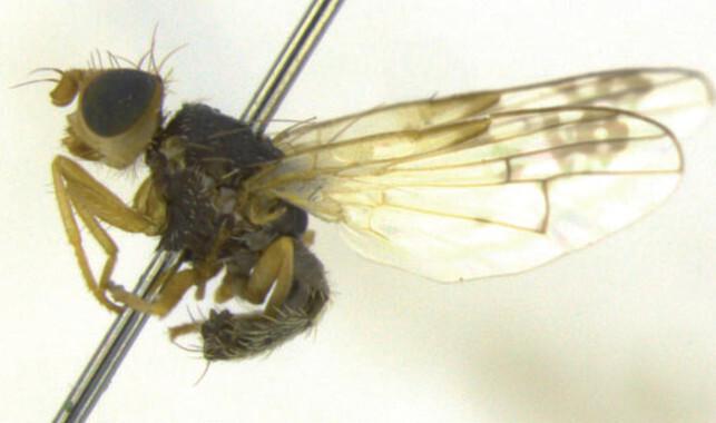 Identifican-tres-nuevas-especies-de-mosca-de-la-fruta_image_380