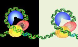 Los centrómeros enrollan el ADN en sentido contrario al de los cromosomas
