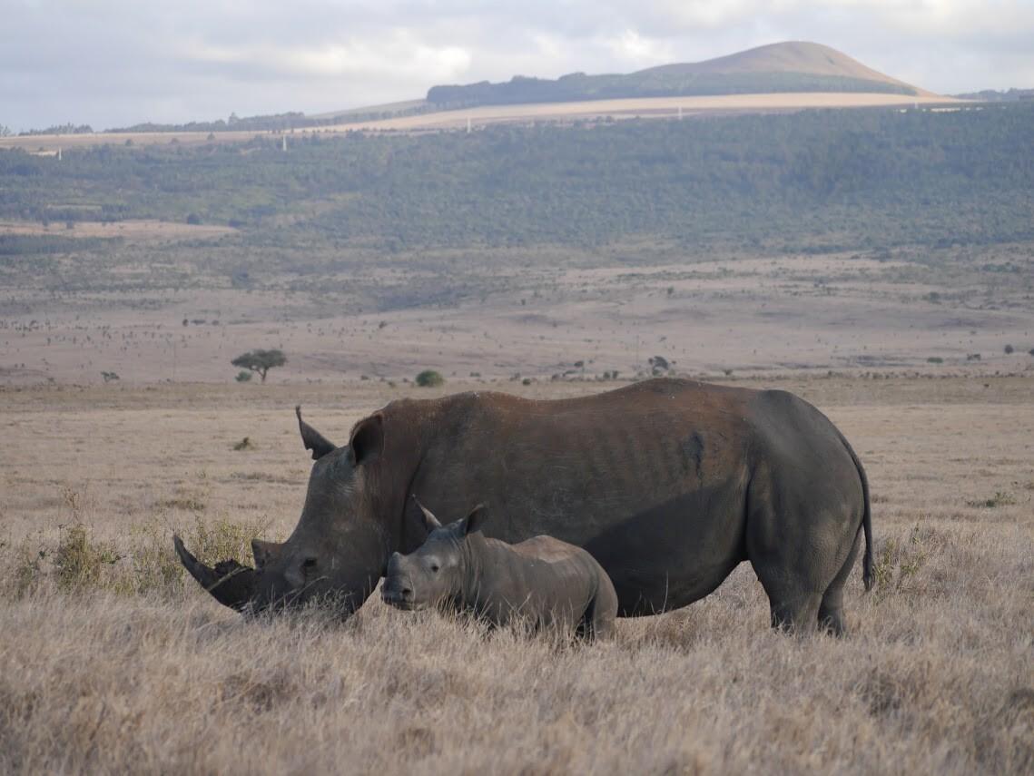 Madre y cría de rinoceronte en Lewa (Kenia)