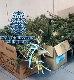 Plantas de marihuana interceptadas por la policía.