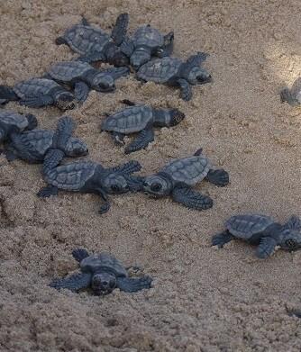 Todas ellas proceden del mismo nido hallado el pasado verano en la playa de Torrevieja.