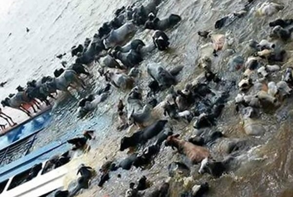 Un barco con 5.000 reses naufragó en Brasil.