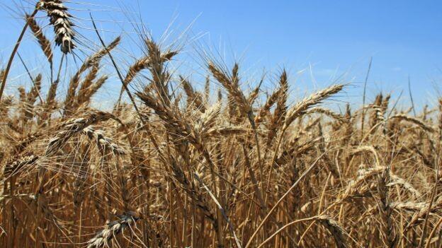 El trigo es uno de esos alimentos muy controversiales.
