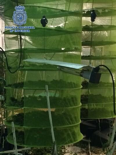 Al parecer varias personas cultivaban plantas de marihuana para después distribuir la droga.