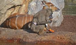 Dril con su cría recién nacida junto a una sitatunga - BIOPARC Valencia - otoño 2015