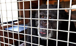 Oct. 24, 2012 - Florida, U.S. - - Ft. Pierce - Cheetah, a chimp they rescued from a biomedical lab in New York, stays in a special needs area at the Save The Chimps facility in Fort Pierce Wednesday