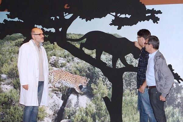 El Museu de Prehistòria mostrará, en primicia mundial, el esqueleto más completo de un leopardo prehistórico.