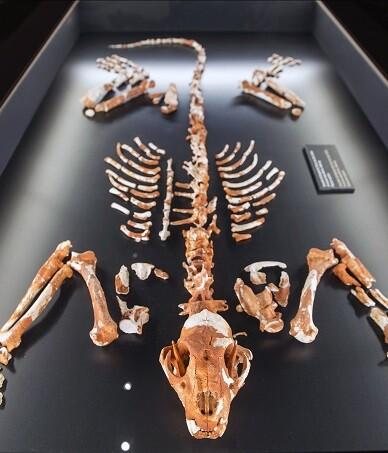 El esqueleto casi completo de leopardo europeo prehistórico (Panthera pardus) fue hallado en 2013.