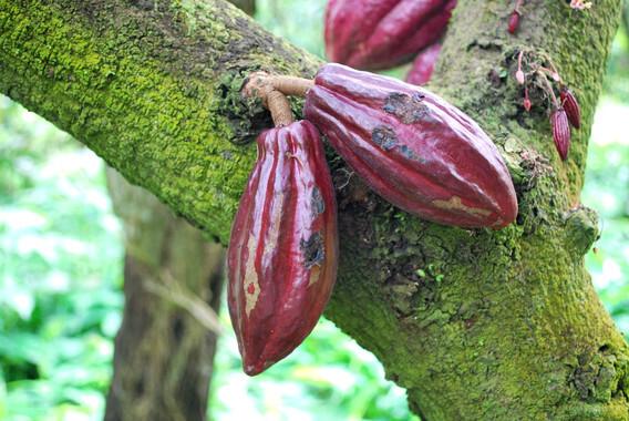 El-negocio-del-chocolate-esta-de-suerte-el-cacao-tiene-diez-millones-de-anos_image_380