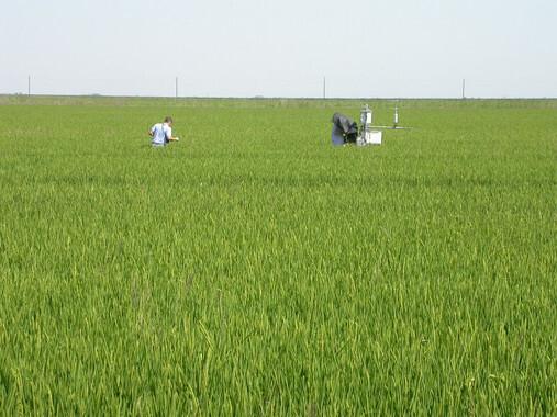 Es-posible-un-uso-mas-sostenible-del-agua-en-el-cultivo-de-arroz_image_380