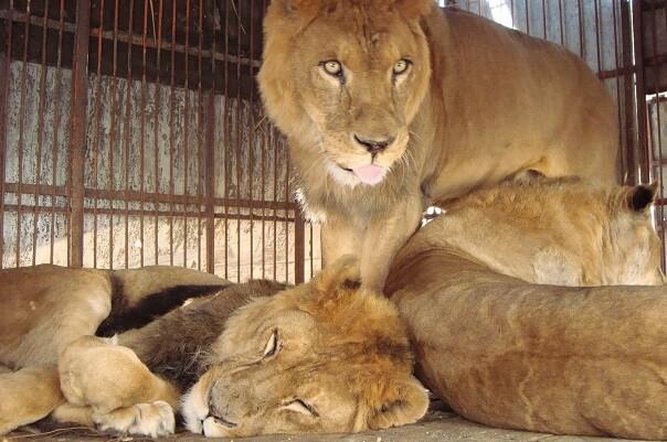 La Generalitat recomienda que no se realicen circos con animales salvajes.