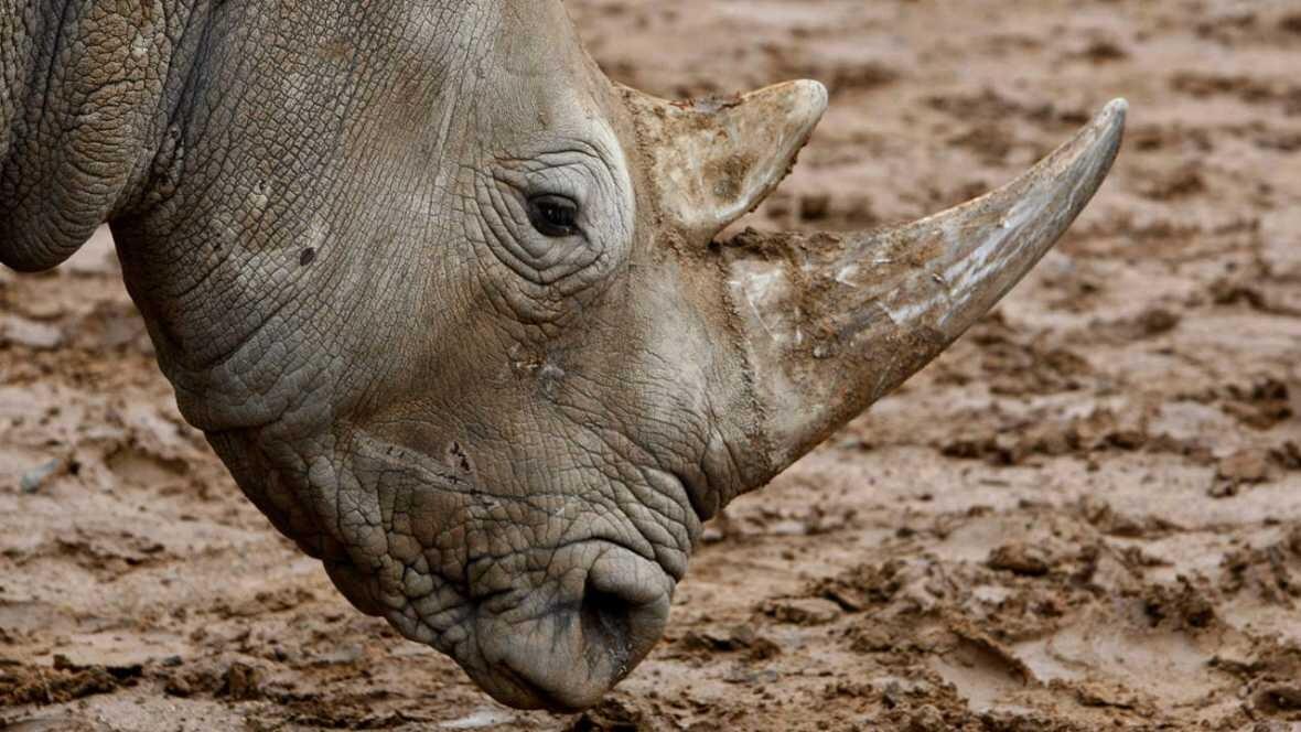 Un rinoceronte en el zoo de Bloemfontein (Sudáfrica). EFE NIC BOTHMA