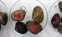 Almejas en laboratorio