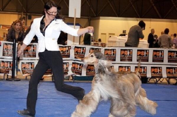 Feria Valencia acoge un concurso y exhibiciones caninas este fin de semana.
