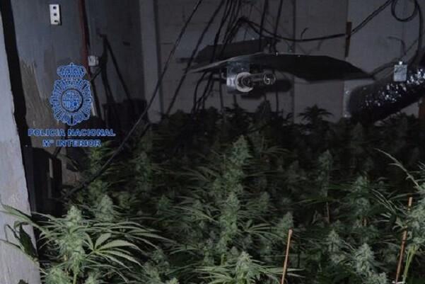 La Policía desmantela  una plantación de marihuana con 230 plantas en una nave industrial de Manises.