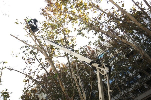 Los trabajos de poda de los plátanos de la Gran Vía se retomarán tras las fiestas navideñas.