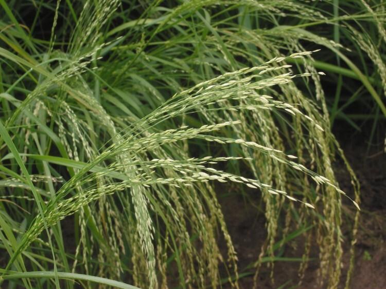 Tef, cereal sin gluten originario de Etiopía. Autor Rasbak