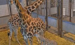 Cría de jirafa recién nacida - BIOPARC Valencia