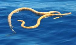 Dos-serpientes-marinas-dadas-por-extintas-vuelven-a-aparecer-en-Australia_image_380