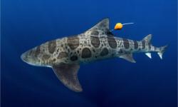 Los-tiburones-leopardo-navegan-con-la-nariz_image_380