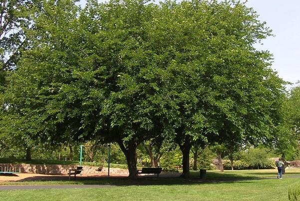 Parques y Jardines sustituirá ejemplares de moreras con fruto por especies menos problemáticas.