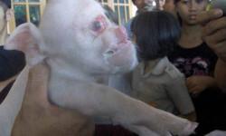 cerdo-con-cara-de-simio-03