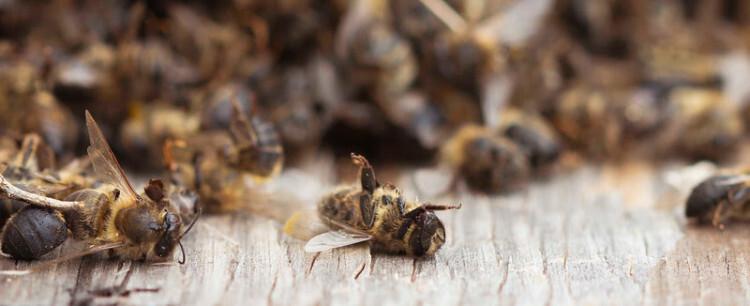 ApiADS viene haciendo estudios de mortandad de abejas desde hace cinco años.