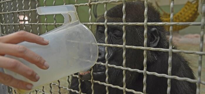 Caldos calientes para gorilas (la hembra Fossey en el cobijo interior de BIOPARC Valencia).