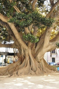 Ficus del Panterre.