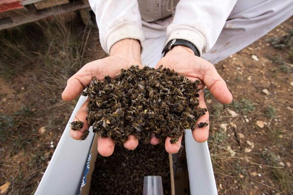 Greenpeace y apicultores denuncian la muerte masiva de abejas en Valencia, Murcia y Andalucía. (Foto-Greenpeace)