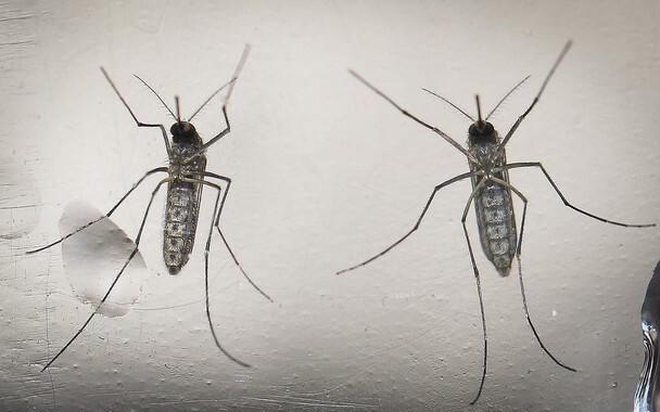 Mosquito vector del virus del zika. / EFE