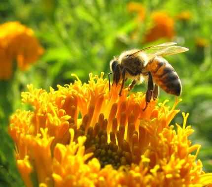 Un-metodo-detecta-plaguicidas-en-polen-y-su-relacion-con-la-perdida-de-abejas_image_380