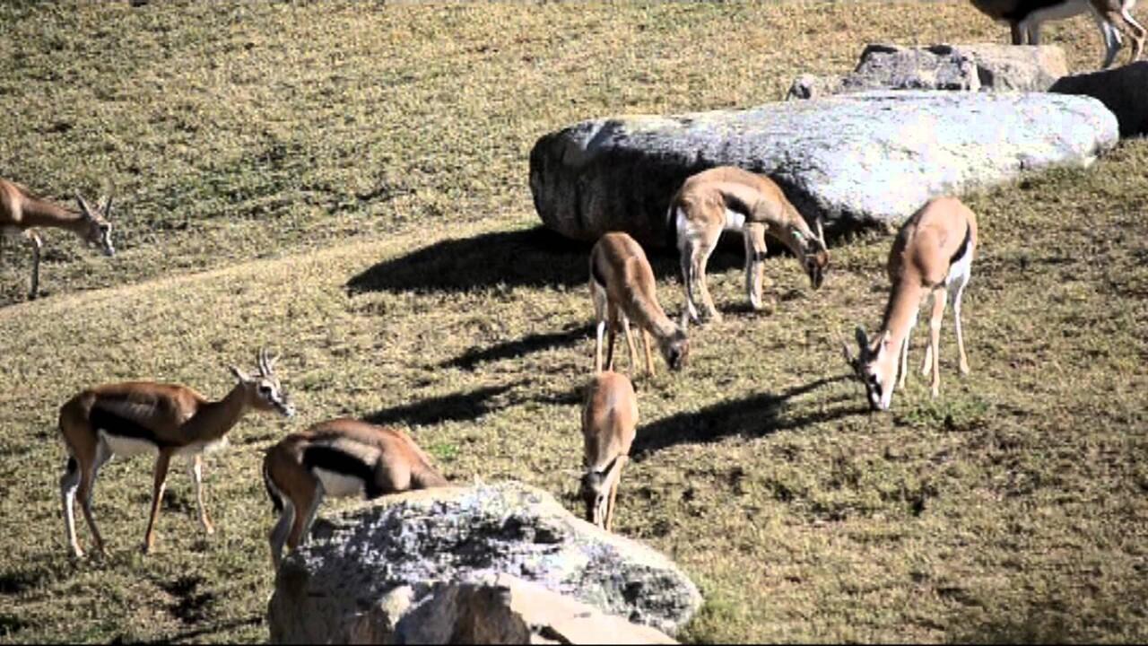 'Desteste' de las crías de gacela de Thomson de BIOPARC Valencia