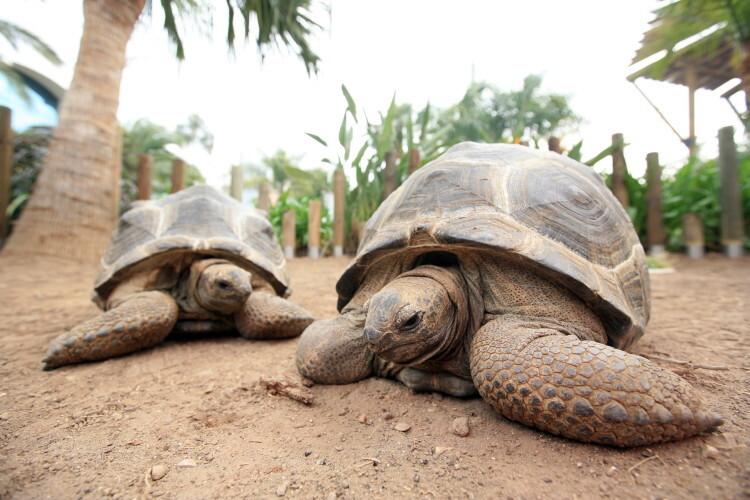 tortuga_aldabra