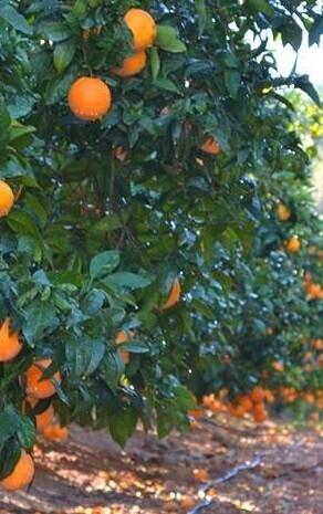 Campo de naranjos en una imagen de archivo.