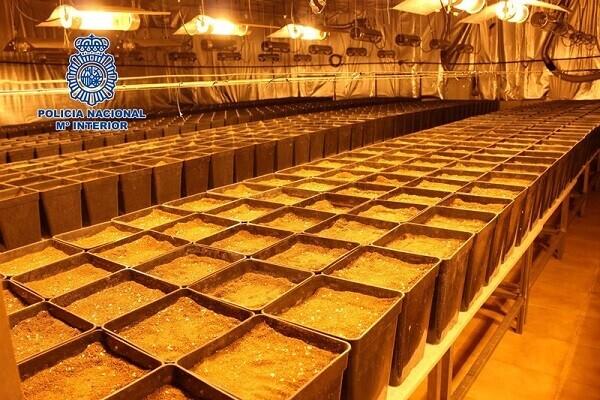 Desmantelan dos naves industriales en Alaquàs con sendas plantaciones de marihuana con casi 3000 plantas.