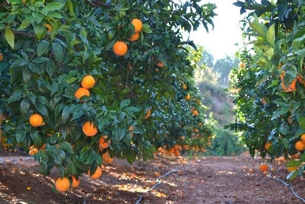 El Guarda Rural de Cheste colabora con la Guardia Civil para evitar el robo de 1000 kilos de naranjas.