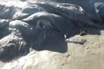 Encuentran a un extraño animal marino en una playa de México. (Foto-Protección Civil y Bomberos de Acapulco).