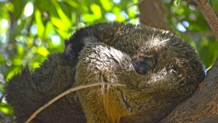 Una especie endémica de Madagascar que sólo habita en España en BIOPARC Valencia y que ya puede contemplarse estos días festivos de Semana Santa.