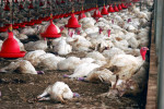 WESTERN NEGEV - MARCH 19: Dead turkey carcasses and a few turkeys that await their deaths by poision at Kibbutz Holit in the western Negev, Israel on Sunday March 19, 2006.