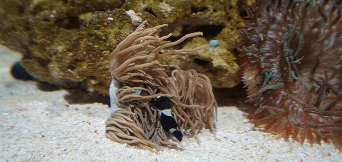 Los peces payaso siempre viven en parejas y tienen la capacidad de cambiar su sexo para que siempre exista uno de cada género.