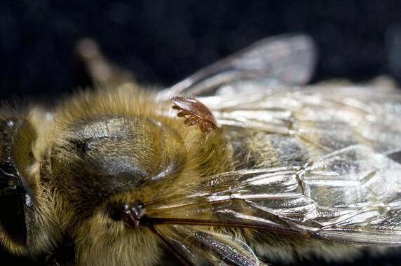 Dos-mutaciones-permiten-a-un-parasito-resistir-a-los-plaguicidas-y-matar-abejas_image_380