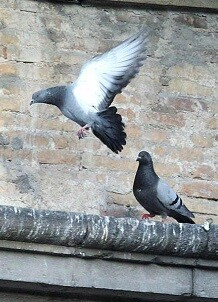 La aplicación del pienso esterilizador va acompañada de un estudio previo de la población de palomas.