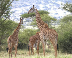 Jirafas Masai macho adultas en Tanzania (África)/ Doug Cavener