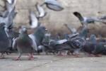 Valencia comienza la campaña de esterilización de palomas.