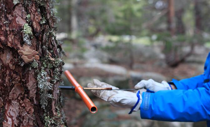 Análisis de los anillos de crecimiento de los árboles. / UNIZAR