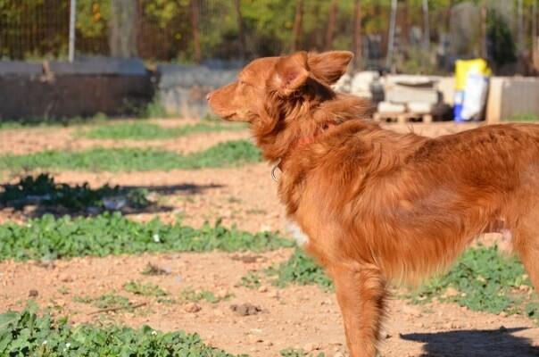 La organización denuncia que gran parte de los canes abandonados en la Comunitat Valenciana son podencos.