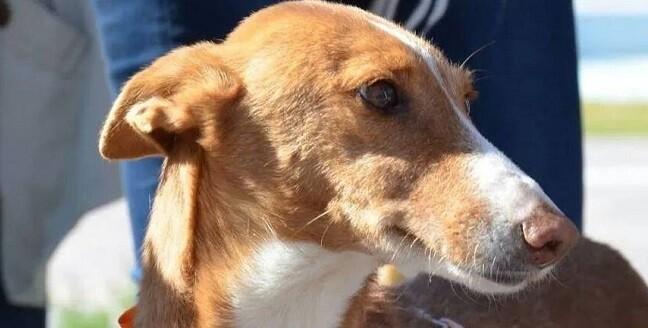 La protectora valenciana Podencos SOS aconseja limitar el número de perros en el sector de la caza para evitar los altos índices de abandono animal.