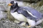 Nacen en el Oceanogràfic de Valencia cinco crías de pingüinos Juanito.
